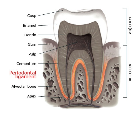 Periodontal Ligament