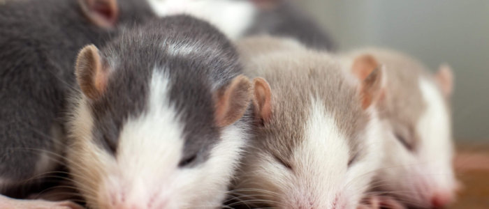 Many,Small,Funny,Baby,Rats,Warming,Together,One,On,Top